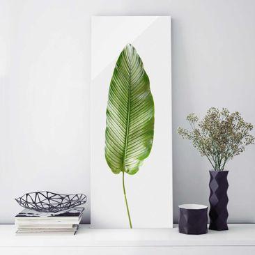 Produktfoto Glasbild - Blatt Calathea-ornata 01 - Panel