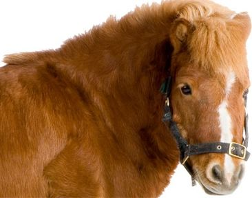 Product picture Photo Wall Mural Shetland Pony