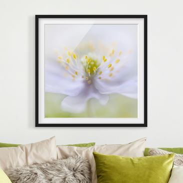 Product picture Framed print - Anemones Beauty - Square...
