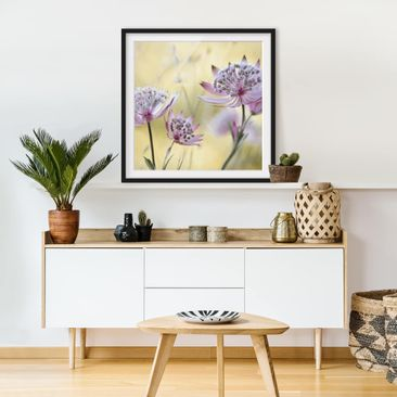 Product picture Framed print - Astrantia Major - Square...
