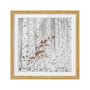 Product picture Framed print - Birches In Autumn -...