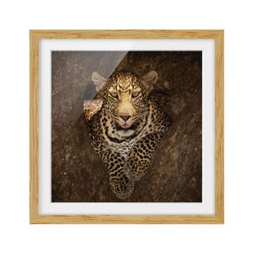 Product picture Framed print - Leopard Resting On A Tree...