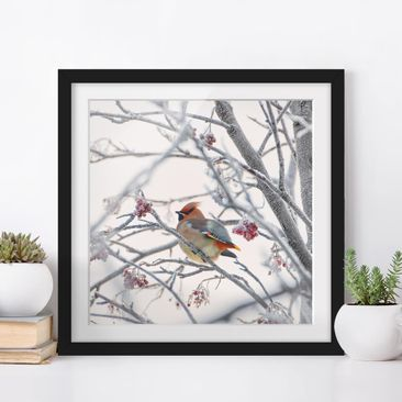 Product picture Framed print - Waxwing In Tree - Square...