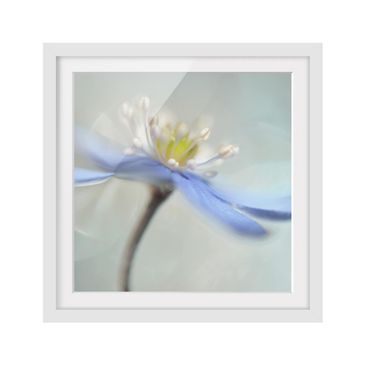 Product picture Framed print - Dancing Anemones - Square...