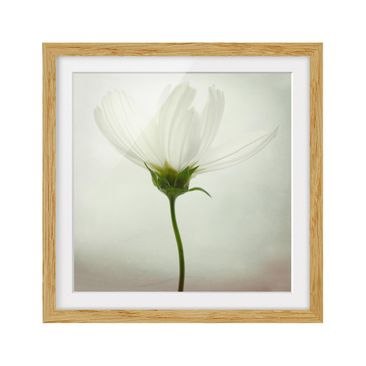 Product picture Framed print - White Cosmea - Square...