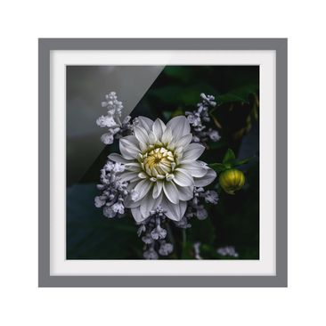 Product picture Framed print - White Dahlia - Square...