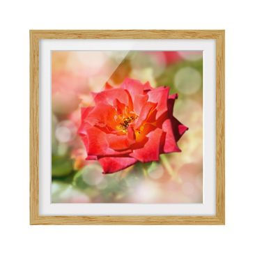 Product picture Framed print - No.Yk19 Shining Rose -...