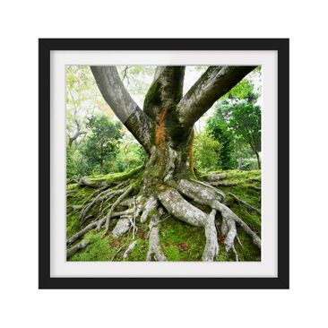 Product picture Framed print - Old Tree - Square Format...