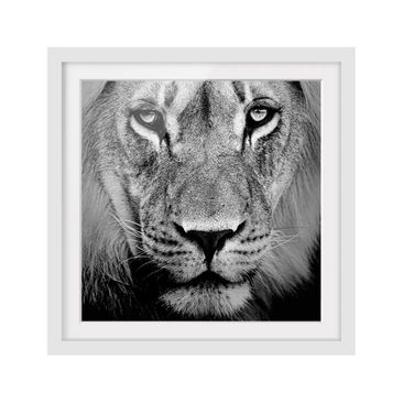 Product picture Framed print - No.273 Old Lion - Square...