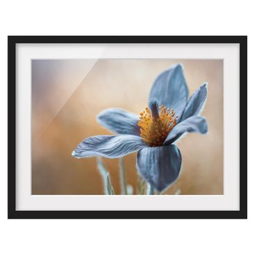 Product picture Framed print - Pasque Flower In Blue -...