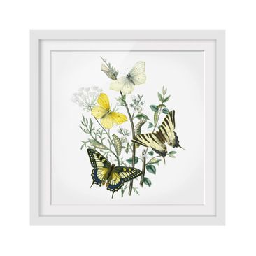Product picture Framed print - British Butterflies III -...