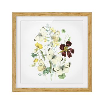 Product picture Framed print - British Butterflies II -...