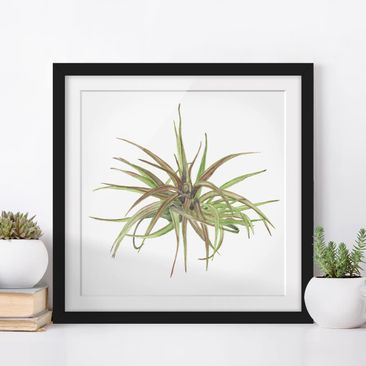 Product picture Framed print - Air Plant Watercolor II -...