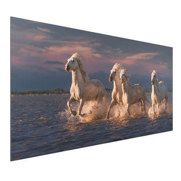 Immagine del prodotto Stampa su alluminio - Cavalli selvaggi in Kamargue - Orizzontale 1:2