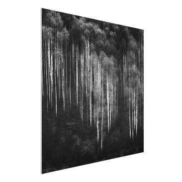Produktfoto Forex Fine Art Print - Birkenwald in Aspen - Quadrat 1:1