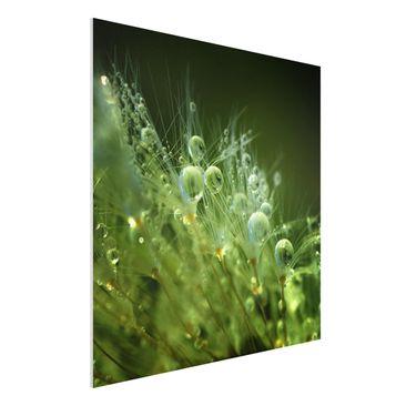 Immagine del prodotto Stampa su Forex - Semi verdi Sotto La Pioggia - Quadrato 1:1