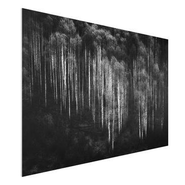 Produktfoto Forex Fine Art Print - Birkenwald in Aspen - Querformat 2:3