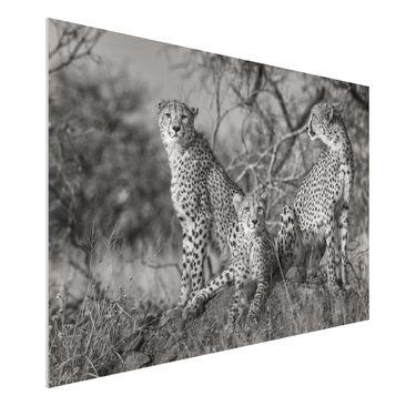 Immagine del prodotto Stampa su Forex - tre ghepardi - Orizzontale 2:3