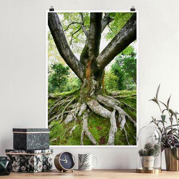 Produktfoto Poster - Alter Baum - Hochformat 3-2 Material matt Artikelnummer 249658-CU