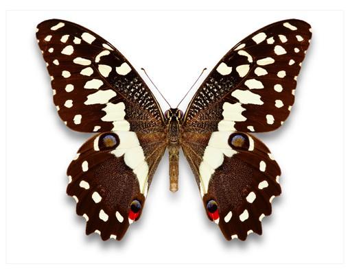 Produktfoto Wandtattoo Schmetterling No.447 Edelfalter in Erdtönen