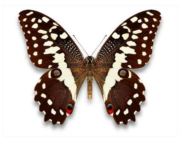 Product picture Window Mural Nymphalidae In Earth Tones