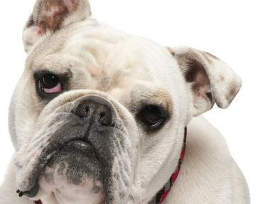 Product picture Tile Mural Skeptical Bulldog
