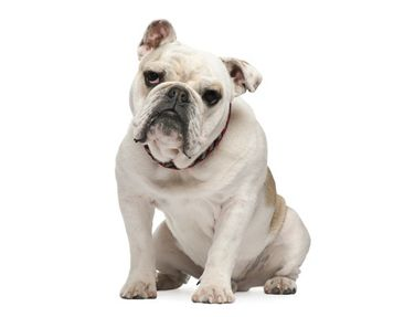 Produktfoto Window Sticker no.508 Skeptical Bulldog