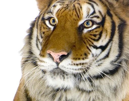 Produktfoto Fensterfolie - XXL Fensterbild Indochinesischer Tiger - Fenster Sichtschutz