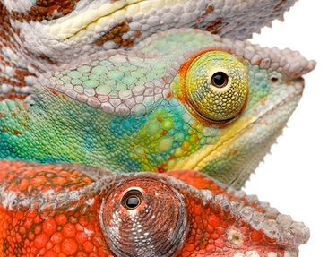 Product picture Canvas Art Oval Colourful Chameleon