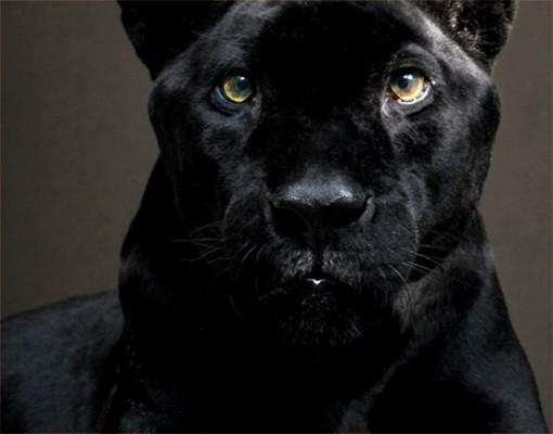 Produktfoto Selbstklebendes Wandbild Black Puma Triptychon II
