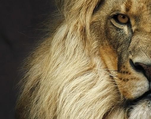 Produktfoto Eckleinwandbild Wisdom of Lion 1:1
