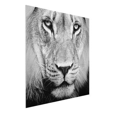 Produktfoto Forex Fine Art Print - Wandbild Alter Löwe - Quadrat 1:1