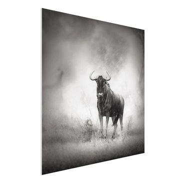 Produktfoto Forex Fine Art Print - Wandbild Staring Wildebeest - Quadrat 1:1