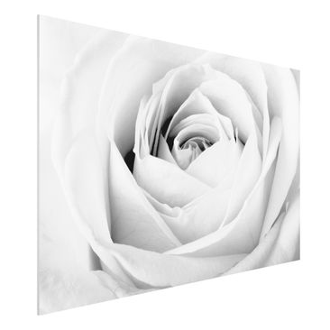 Produktfoto Forex Fine Art Print - Wandbild Close Up Rose - Quer 2:3