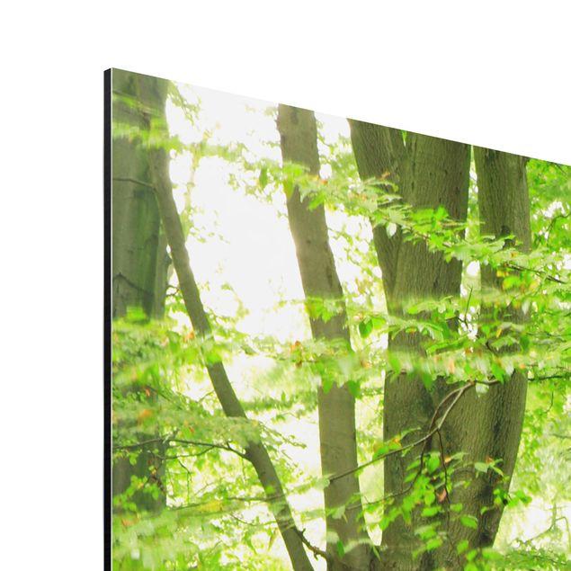 Produktfoto Aluminium Print - Wandbild Mighty Beech Trees - Quadrat 1:1