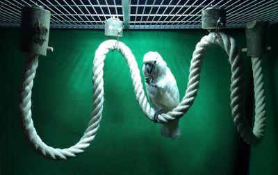 Super Sisalseil für grosse Papageien 45 mm mit dicken Hartholzenden und Edelstahlscheiben 325 cm lang 001