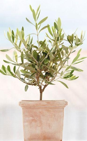 Fenstersticker Olivenbäume