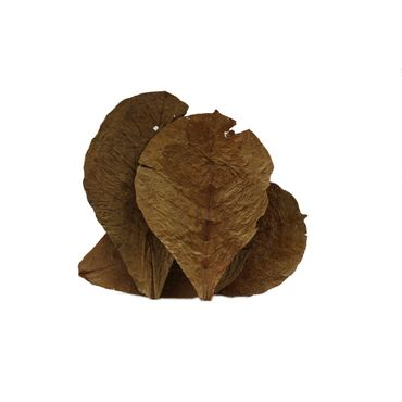 Tantora Catappa Leaves almond leaves 13-18 cm 50 pcs.  – Bild 1