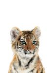 Postkarte A6 +++ JUNIQE +++ LITTLE TIGER