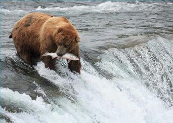 Postkarte 3D +++ TIERE +++ GRIZZLY FÄNGT LACHS