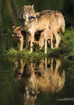Postkarte 3D +++ TIERE +++ WOLFS-FAMILIE