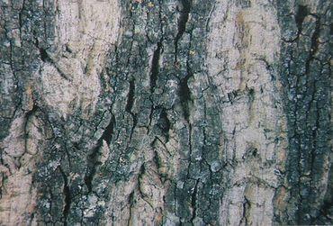 Rückwand Foto Folie Baumstamm / Pflanze m. Wurzel 100x50 cm – Bild 1