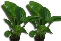 Anubias barteri Aquarium Barsch Pflanzen 2 Stück GRATIS Düngekugeln