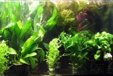 Wasserpflanzen Topf Pflanzen Mix 50 Aquarium GRATIS Düngekugeln
