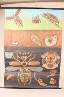 Schulwandkarte Maikäfer Rollkarte Lehrkarte Lehrtafel Wandkarte 114x82 cm