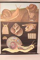 Schulwandkarte Weinbergschnecke Lehrkarte Lehrtafel Wandkarte 114x82 cm