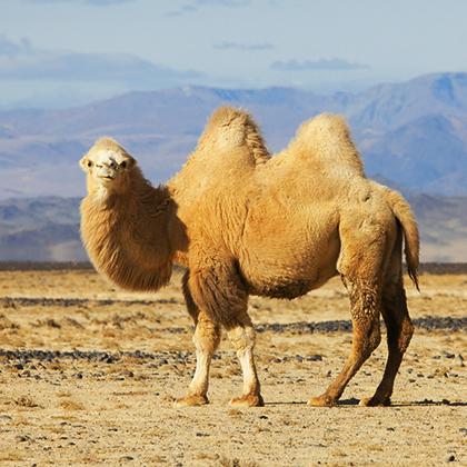 Kamelwolle