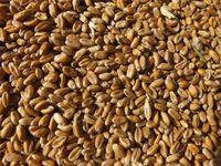 Weizen (ganz) 10 kg - frisch und direkt aus der Mühle 001