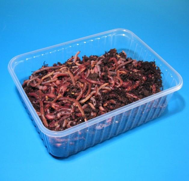 Rotwürmer - Mix zum Stippfischen - 1600 Stück im Sack – Bild 1