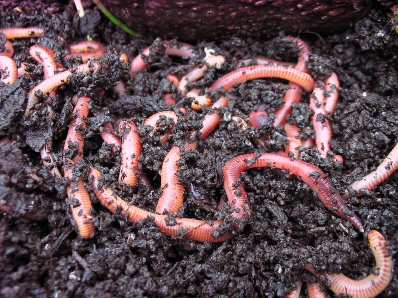 Wurmhumus TERRAGOLD 5l von wurmhandel -  Premiumqualität aus Pferdäpfel - TORFFREI - UNIVERSALDÜNGER für alle Pflanzen - WURMKOMPOST für den Garten und Zuhause - HERGESTELLT IN BRANDENBURG/HAVEL  – Bild 3